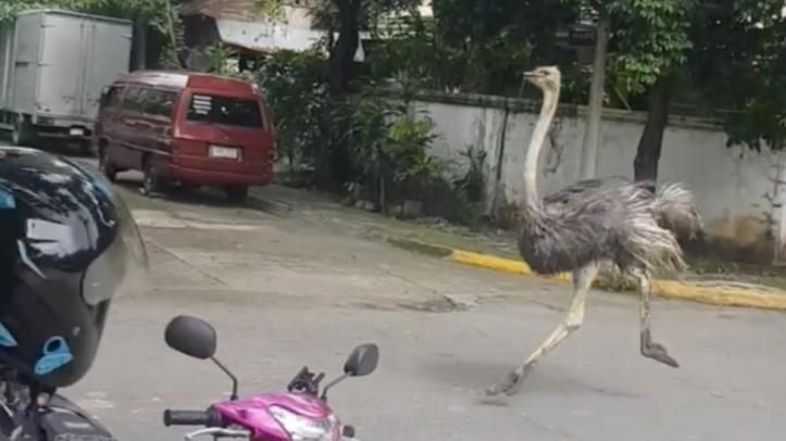 ostrich-running-village-MAIN